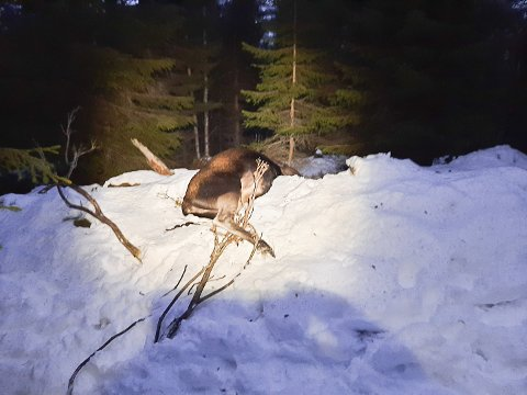 TJUVJAKT: Elgen lå et kvarters gange fra bilveien i Haustreisdalen, rundt 500 meter nord for Nordlund.