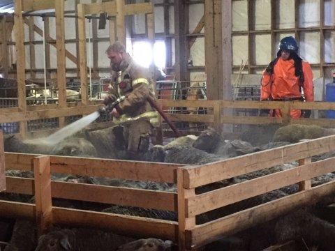 Nå vaskes sauene med varmt vann av brannvesenet, og får tilsyn av veterinær.
