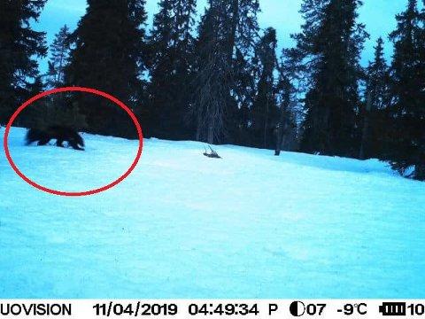JERV: Ringsaker jakt- og fiskeområdes viltkamera ved Endelausmyrene knipset dette bildet av en jerv like før klokken 05.00 torsdag morgen.