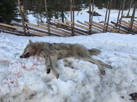 ULV: Denne ulven ble skutt i Ringsakfjellet tirsdag.