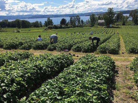 Vanskelgi: Det er fortsatt bekymring i næringa om de får høstet all jordbæra i år. Bildet er fra jordbærplukking i 2019. (Foto: Anette Løvlien Vold)