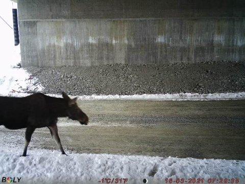 ELG: Ved Vestheim benyttet denne elgen seg av undergangen. Bildet er tatt 16. mars.