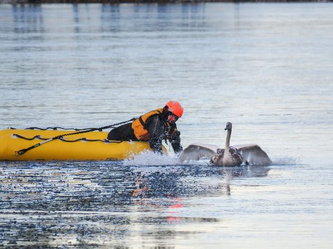 Ringerike brann- og redningstjeneste frigjorde en fastfrosset svane på Steinsfjorden i fjor. Men brannvesenet påpeker at det er sjelden svaner faktisk sitter fast i isen.