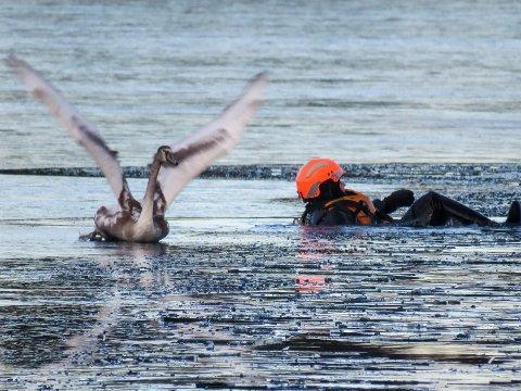 Ringerike brann- og redningstjeneste frigjorde en fastfrosset svane på Steinsfjorden.