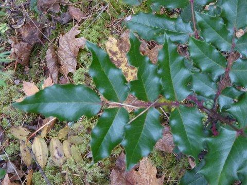 Det var trolig ikke kristtorn likevel, men Mahonie (Mahonia Aquifolium).