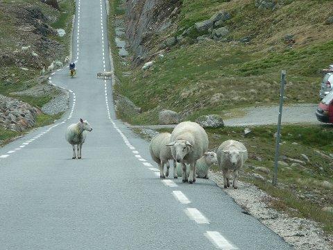 Gi beskjed: Sauer i veien er et kjent syn på bilferie i Norge. Tragisk nok blir mange påkjørt uten at bilfører melder fra om det.
