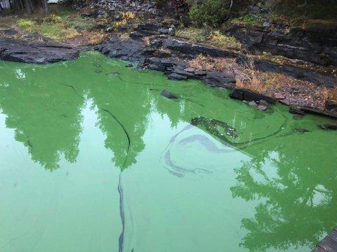 GRØNT: Det var grønt og ekkelt i Steinsfjorden, men ingen oljefilm ble funnet.