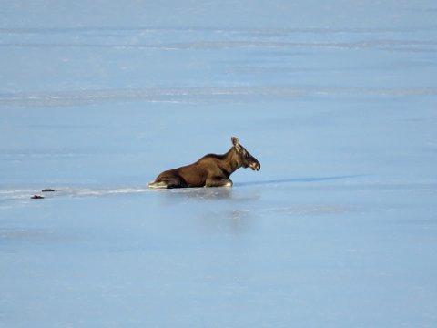 PÅ ISEN: Denne elgen ligger på Steinsfjorden og må få være i fred, opplyser Viltnemnda.