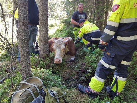 Ganske mange var i sving for å redde kua opp av myra.