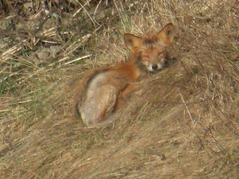 SYK: Denne reven tok Gerd Dønheim bilde av i Heradsbygda. Reven har mistet mye pels som følge av skabb.