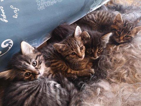FORSVUNNET: Kattemor Vilde og de små nøstene skal ha blitt tatt fra sitt hjem på Jevnaker.  Her er fire av dem.