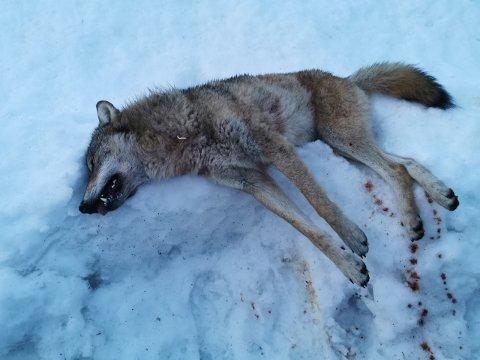 Det er første gang en ulv er felt på lisens i Oppland.