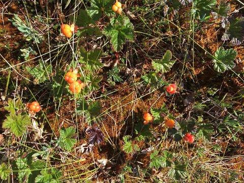 MOLTETID: Det meldes om bugnende moltemyrer i skogen i distriktet.