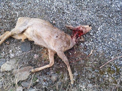 MED DØDELIG UTFALL: En hund angrep dette rådyret, som døde av bittskadene.