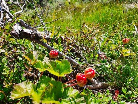 FINE FARGER: Røde myrer som snart blir oransje i Tinn  Her er et knippe halvmodne bær i Hjerdalen vest for Rjukan sist helg.