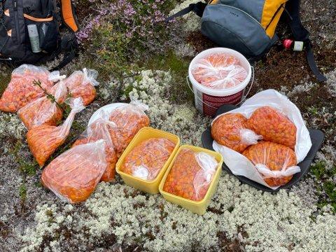 FJELLETS GULL: I alt 16 kilo molte plukket Bent Bakken og en kamerat på en fjelltur.