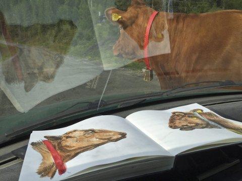 Jeg har tilbragt hundretalls timer med skisseblokk i selskap med krøtter på Totenåsen i sommer. Vel vitende at det innebærer en betydelig risiko å trå de nybakte mødrene for nær. Foto: Hallgeir B. Skjelstad