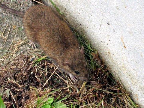 Nå kommer dem: – Alt som kan gi mus boplass må sjekkes, sier skadedyrteknikeren.