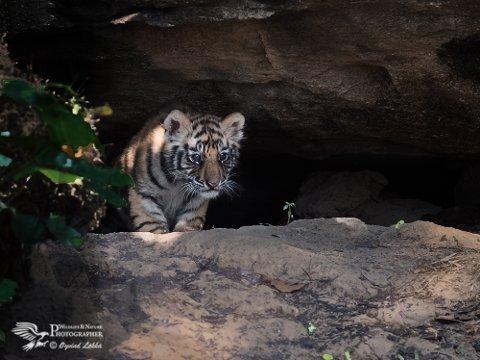 TIGERUNGE: Øyvind Løkka knipset blant annet dette bildet da tigerungene dristet seg ut av hula si.