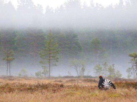 Morgendisen skaper en spesiell stemning når det gryr av dag på orreleiken. En orrhane er klar til dyst. Snart kommer de andre. Foto: Rune Fjellvang