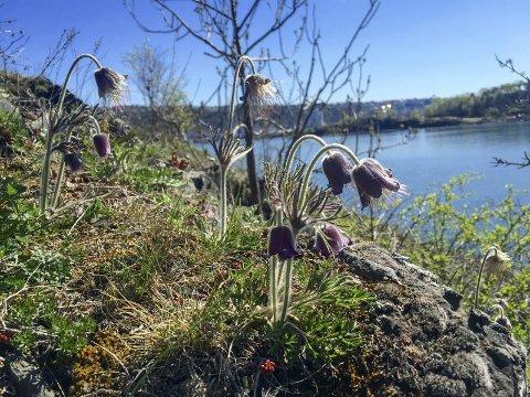 På et parsteder på østsida av Hovedøya vokser kubjellene. Disse er et hyggelig møte på en vårtur ute i fjorden. I bakgrunnen kan man skimte både Sjursøya og Ekebergskråningen. Foto: Rune Fjellvang