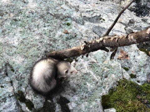Denne ilderen ble funnet på Rånasfoss.