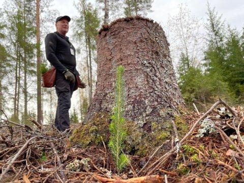 Første granplante satt ned for å gjenreise den fredede skogen etter den fatale hogsten i mai.