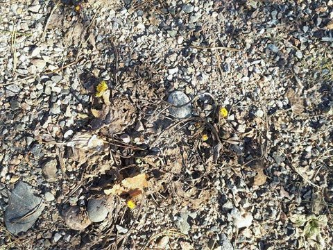TIDLIG UTE: Hestehoven pleier vanligvis ikke titte fram før i mars-april, men Laila Sauer har funnet eksemplarer 7. februar på Verket.