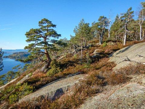 VERN: I Brudeberget i Røyken er det et parti med gammel furuskog som vurderes vernet.