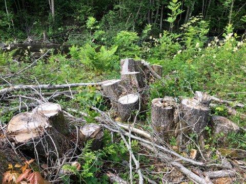 HOGGET NED: Flere store trær ble hogget ned langs Verkenselva.