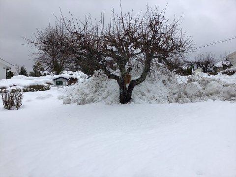 MORELLTREET: Treet har foreløpig stått imot snømassene i Tempelveien i Sætre.