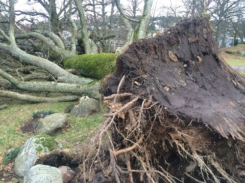 STORM: Det var stormen «Nina» 10. januar 2015 som veltet eika.