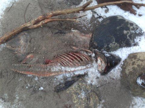 STRANDET: Dette er hvalskjelettet som Øyvind Østerud fant på stranda på Ula lørdag. Nå lurer han på hvordan det har havnet der.