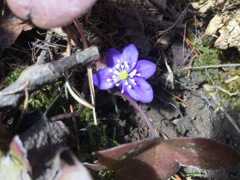 DET SPIRER OG GROR: Våren er offisielt her, og blåveien har vist seg fram.