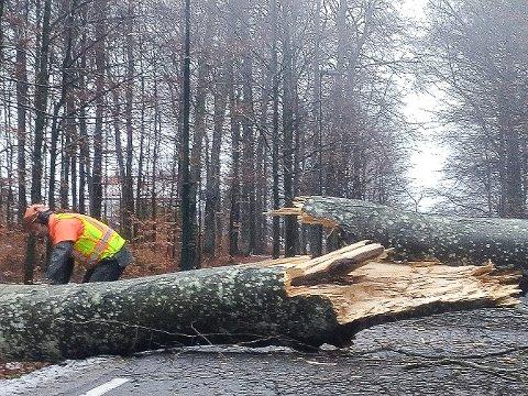 OVER VEIEN: Mange av trærna som ble felt i Bokemoa var så store at de måtte lande i veien.