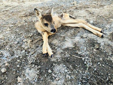 REDDET: Denne rådyrkillingen falt nylig ned i en grøft under anleggsarbeid på en gård nær Sandefjord. Den skal senere ha blitt gjenforent med moren