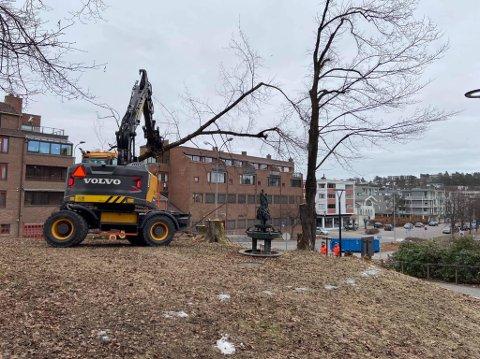 HØYE: Noen av trærne er store. Her ryddes det plass til jobbing med ny kulturarena. FOTO: Håkonsen & Sukke