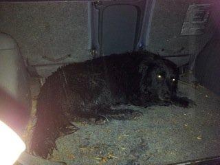 EIER SØKES: Denne hunden ble i går påkjørt, og er nå i Falcks forvaring.