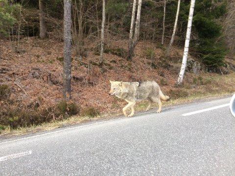 Ulven gikk langs med hovedveien i Trøsken da Kjetil Thon og sønnen Ask kjørte seg en tur i området torsdag kveld.