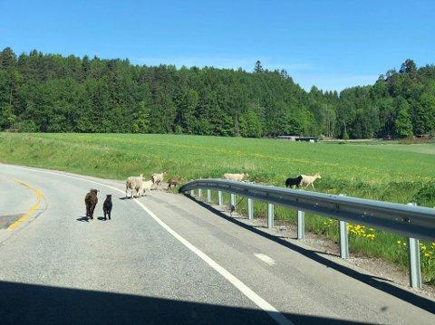 PÅ BÆÆÆRTUR: Sauene hadde kommet seg bort fra motoveien og ned på fylkesvei 118.