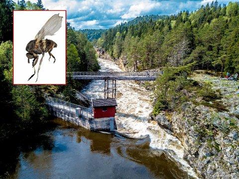 Grundig jobb med fjerning av mose ved kanalen ovenfor Sølvstufoss kan være en av årsakene til at det har vært mindre tuneflue enn vanlig i Sarpsborg i sommer.