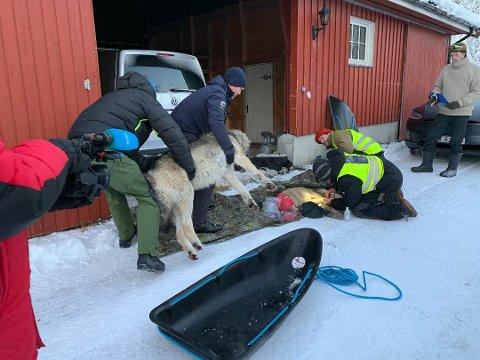 Her bæres Deisjø-hannen på lass og legges ned ved siden av tispa. Ulveparet er nå kjørt i bil og sluppet ut i skogsområder i Våler eller Sarpborg.