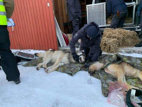 DEISJØULVEN: Politiet har ikke funnet det bevist at noen drev organisert jaging av disse ulvene som ble satt ut i distriktet i januar.