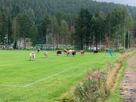 KYR: Beitende kyr, 14 i tallet, møtte Kjell Øverby i Birkebeineren IF da han kom til klubbens anlegg fredag morgen.  De hadde tatt seg godt til rette, lagt fra seg avføring og skapt dype spor.