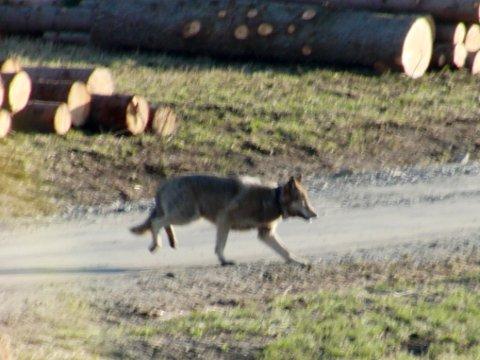 Oslo  20120414. En radiomerket ulv er observert midt i boliområdet på Nesodden torsdag ettermiddag. Foto: Jens Christian Mitchell / Scanpix