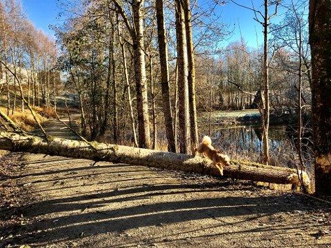 Sperrer veien: Treet har falt tvers over turstien langs Mysenelva.