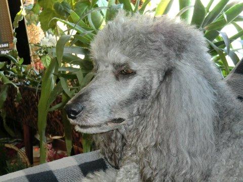 Den store puddelen Fiona klarte å bli 13,5 år gammel. Nå har eier Randi Hansen skrevet et siste dikt til hunden.