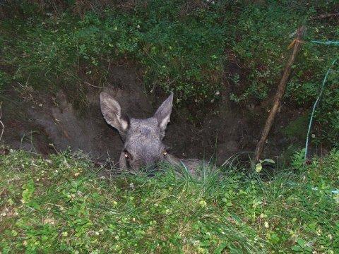 I et hull: Elgkua hadde falt i et hull, og var ute av stand til å komme seg opp.