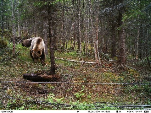 """REGISTRERT: Denne bjørnen ble fotografert for noen dager siden da den kom innom hårfella i Guslia i Grong, like nord for grensa til Snåsa. DNA-spor ble raskt sendt til analyse, og resultatet viste at det dreier seg om en """"ukjent"""" bjørn som trolig har vært på elgjakt  området."""