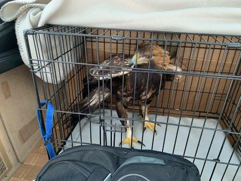 I bur: Den skadde kongeørnen ble fraktet i et hundebur til Stjørdal der den nå blir tatt hånd om av ornitolog Tom Roger Østerås. Foto: Jørn Magne Vaag.
